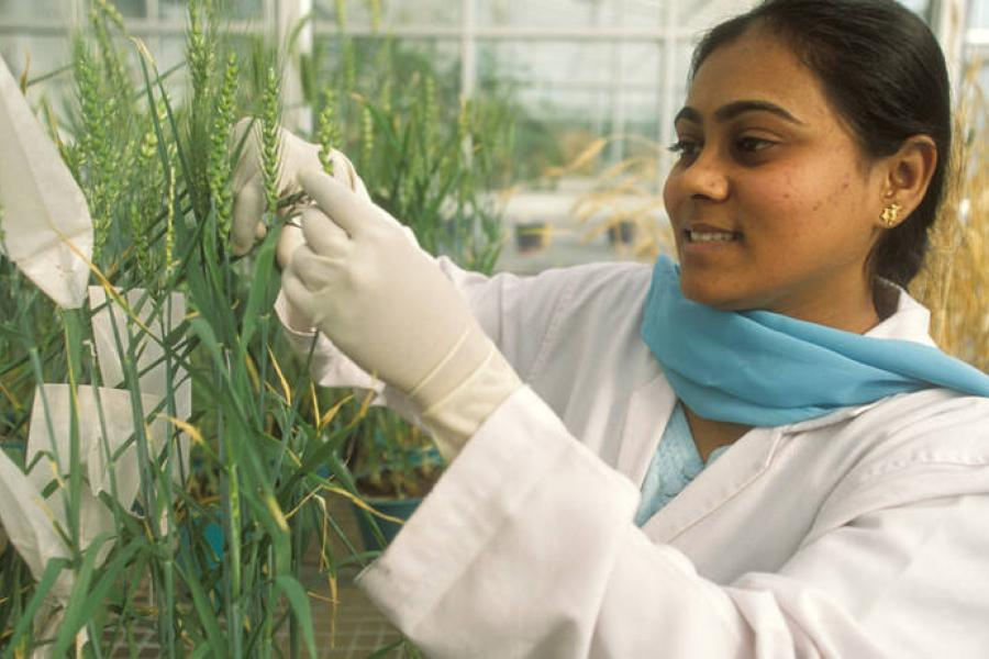 A scientist examining wheat varieties at a greenhouse of the Indian Agricultural Research Institute.
